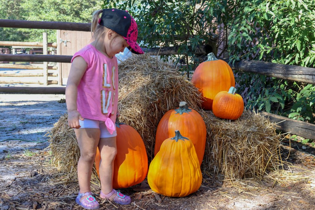 Decorations are everywhere, even these few pumpkins tucked away near the horse barn